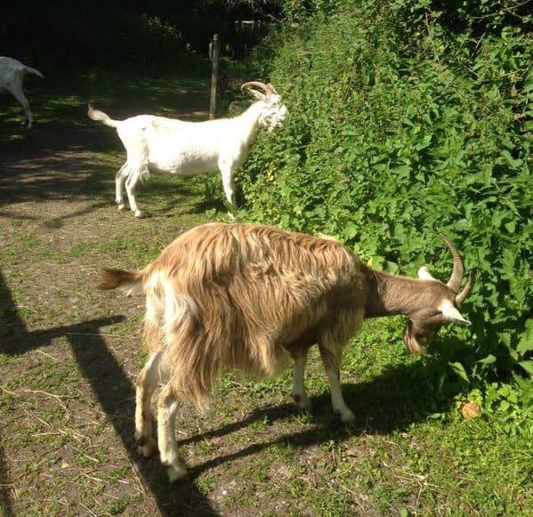 goat verges